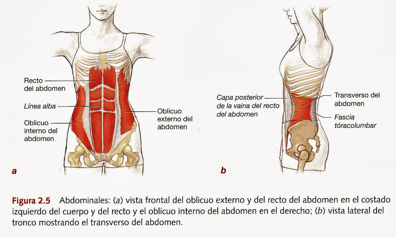 Único Columna Vertebral Definición Anatomía Imagen - Imágenes de ...